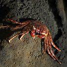 Kauai Crab by Dennis Begnoche Jr.