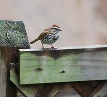 Song Sparrow  Waiting for Food ! by shadyuk