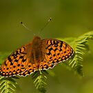 Dark green fritillary by Jon Lees