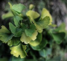 Ginko Bokeh by Aaron Campbell