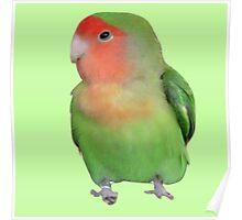 Peach-faced Lovebird Poster