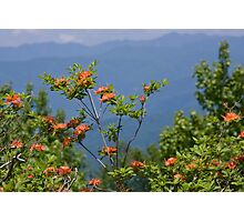 Flame Azalea III Photographic Print