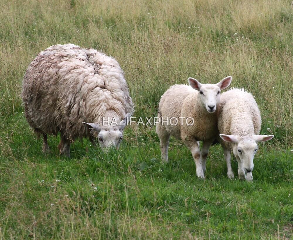 Lambs In A Field by HALIFAXPHOTO