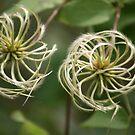 twin flowers by Sheila McCrea
