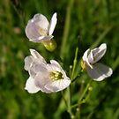 Hegderow   pink Flower Derry Ireland by mikequigley