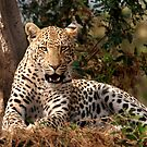 Leopard in waiting by Sharon Bishop
