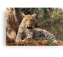 Leopard in waiting Metal Print