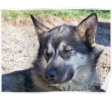 Sleepy Sled Dog Poster