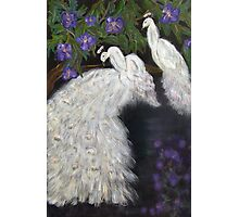 Albino Peacocks Photographic Print