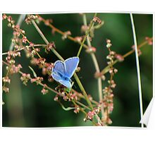 Male Common Blue 03 Poster