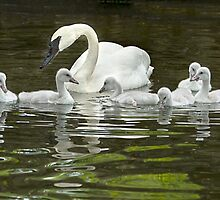 Trumpeter Swan and Cygnets by Artt