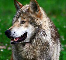 Wolves by Marija