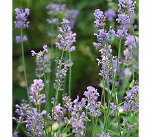 Kathy's lavender Photographic Print