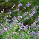 Kathy's Lavender 2 by JenniferJW