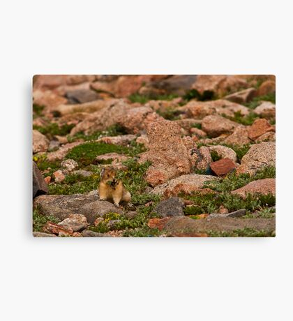 Pika With Wildflowers Canvas Print