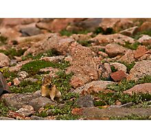 Pika With Wildflowers Photographic Print