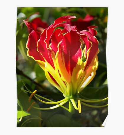 Flame Lily Poster