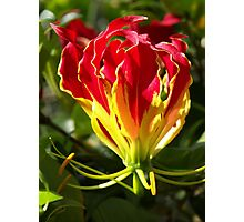Flame Lily Photographic Print