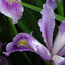 Iris by Arrina