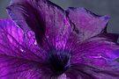 Purple Petunia Macro by Adam Bykowski