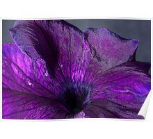 Purple Petunia Macro Poster