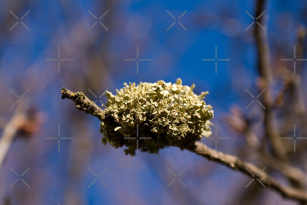 Lichen Nest by Deborah McGrath