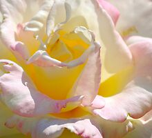 Multicolored Rose by Carol Clifford