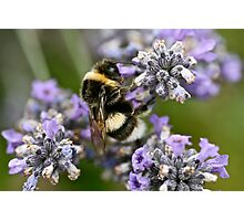 Bumble Beeeeeeeeee Photographic Print