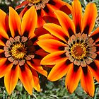 Gazania by iandsmith