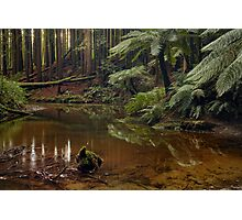 Californian (Giant) Redwoods on the Aire River Photographic Print