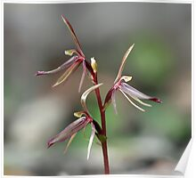 Large gnat orchid Poster