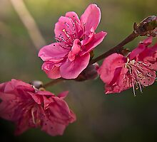 Pink Blossom by gamaree L