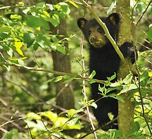 black bear tree hugger by dc witmer