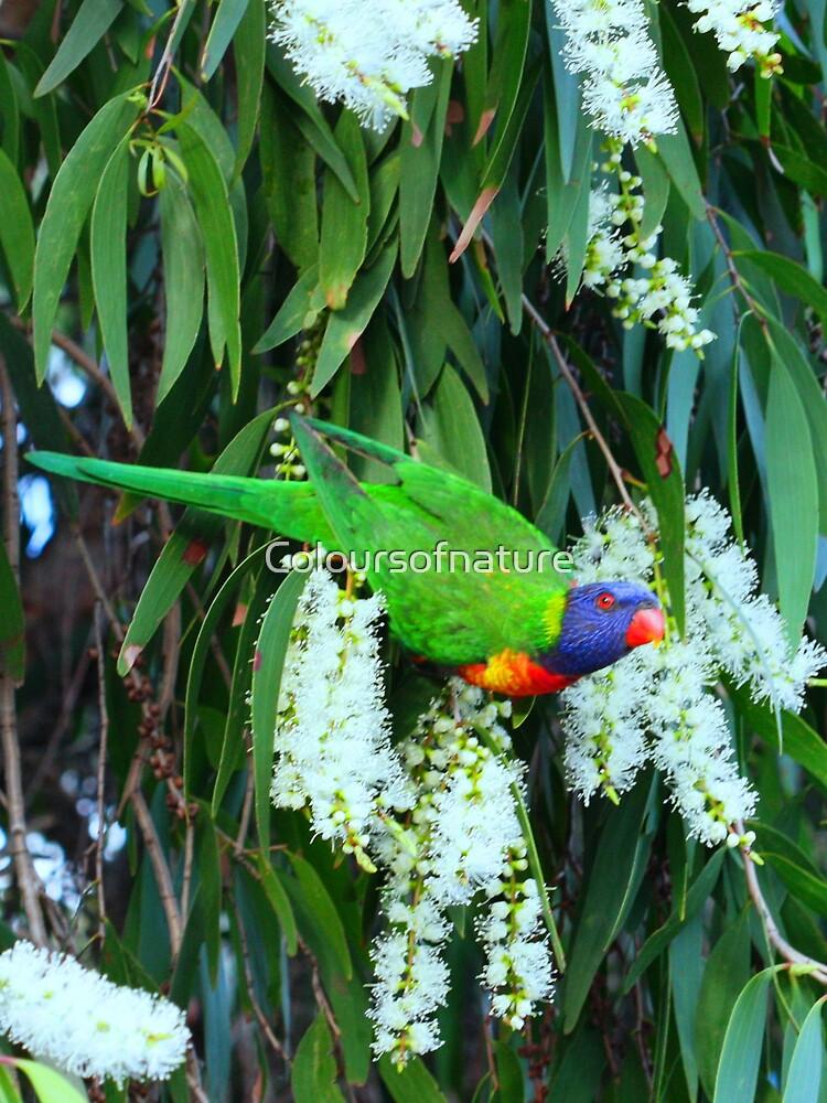 Rainbow Lorikeet by Coloursofnature