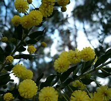 Acacia Blossoms NLP -1 by beeden