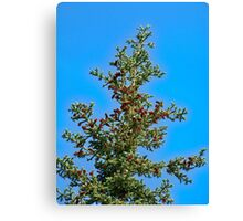 Towering spruce Canvas Print
