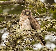 Juvenile Sharp-shinned Hawk  by Vickie Emms