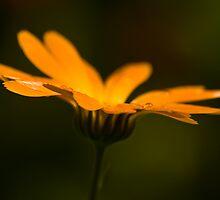 Scotch Marigold by RosiePosie