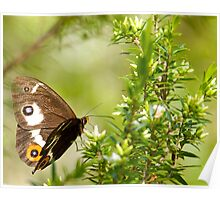 Varied Sword Grass Brown Butterfly Poster
