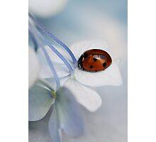 Ladybug on hydrangea. Photographic Print