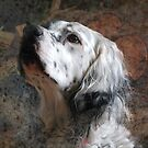 English Setter by FelicityB