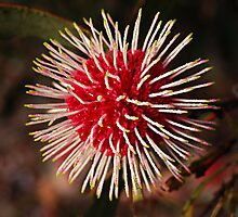 Pincushion Hakea by Eve Parry