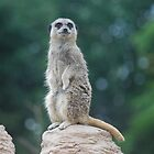 Compare the Meerkat by Gwyn Lockett