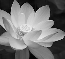 Lotus Black and White by Eric G Brown