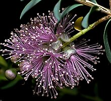 1985 Kunzea parvifolia Monash University garden by Fred Mitchell