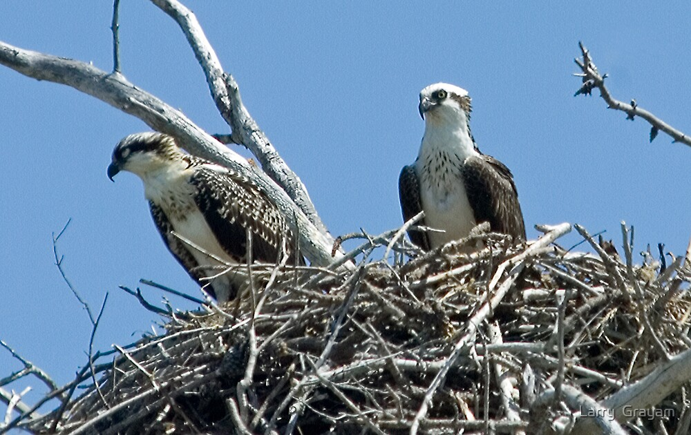 Nesting Osprey pair by Larry  Grayam