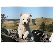 Dingo puppies  # 1 Poster