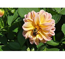 Bumble Bee in Flower Photographic Print