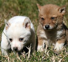 Dingo Puppies # 2 by Lyn  Thomsen