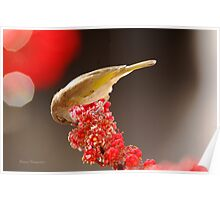 Brown honey eater on red flowers  Poster